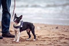 Man med Boston Terrier royaltyfri fotografi