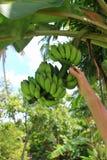 Man met de hand plukkend een banaan van een bos van bananen Stock Foto