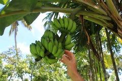 Man met de hand plukkend een banaan van een bos van bananen Stock Foto's