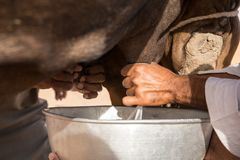 Man milking a camel close up. Man milking a black camel during Al Dhafra camel festival. Abu Dhabi, UAE Stock Image