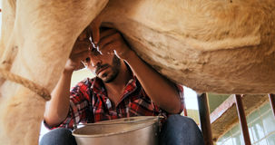 Man Milking Cow In Farm Livestock In Ranch Royalty Free Stock Photo