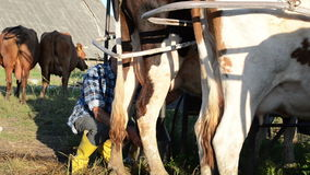 Man milking machine cow. Milker farmer man in yellow boots milk cow with milking machine and take it off. Natural ecologic milk process in farm stock video footage