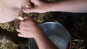 The man milks a cow.