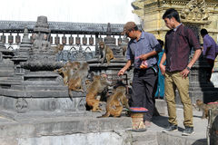 Man and monkeys Royalty Free Stock Photography