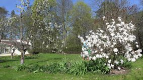 Man mow lawn between white blooms in spring. 4K. Man mow lawn between white tree and flower blooms in spring season garden. Gardener in blue jumper and green stock video footage