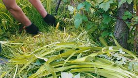 Man mows a grass with the help of an ancient hand-scythe stock video footage