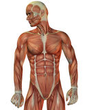 Man muscle structure front view Royalty Free Stock Photo