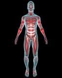 Man muscles anatomy Stock Photos