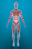 Man muscles anatomy Stock Image