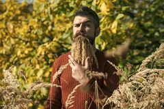 Man with natural spikelet beard sunny fall. Hipster or bearded guy in autumn nature outdoor. Season and autumn holiday. Floral fashion and beauty. Spikelet Royalty Free Stock Image
