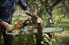 Man without the necessary protection, cuts tree with chainsaw Stock Photography