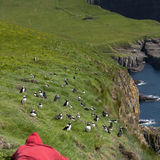 Man observing Atlantic Puffin Royalty Free Stock Images