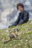 Man observing ground hog marmot Royalty Free Stock Images