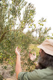 Man observing olives on plant Stock Photo