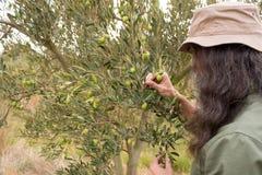 Man observing olives on plant Stock Image