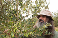 Man observing olives on plant Royalty Free Stock Photography