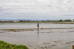 Man observing the rice fields near Valencia royalty free stock images
