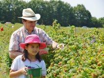 Man och barn som upp väljer hallon Royaltyfri Fotografi