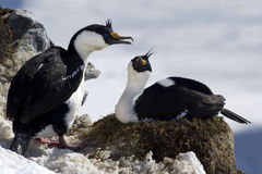 Man och kvinnlig blåögd kormoransammanträdeAntarktis Royaltyfria Bilder