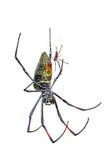 Man och kvinnlig guld- siden- orb-vävare spindel på vit bakgrund royaltyfri fotografi