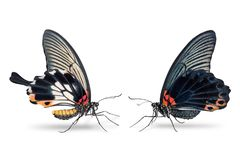 Man och kvinnlig stor fjäril för mormonPapilio memnon arkivfoto