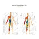 Man och kvinnliga beniga systemdiagram för muskel och med förklaringar Anatomihandbok av mänsklig livsfunktioner Arkivfoton