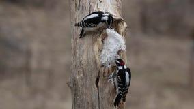 Man och kvinnliga duniga hackspetter (Picoidespubescens) som äter njurtalg på en trädstubbe arkivfilmer