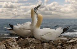 Man och kvinnliga nordliga havssulor Fotografering för Bildbyråer