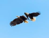Man och kvinnliga skalliga Eagles royaltyfri foto