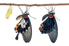 Man och kvinnliga stora fjärilar för mormonPapilio memnon arkivbilder