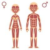 Man och kvinnligt muskeldiagram vektor illustrationer