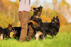 Man with Old German Shepherd Dogs Royalty Free Stock Images