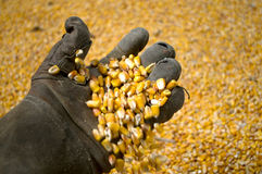 A man with an old glove holds a grain of corn in the background Royalty Free Stock Images