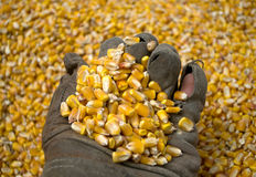 A man with an old glove holds a grain of corn in the background Royalty Free Stock Photo