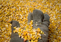 A man with an old glove holds a grain of corn in the background Stock Photos