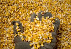 A man with an old glove holds a grain of corn in the background Royalty Free Stock Image
