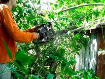 A man in orange clothes cuts down the branches with chainsaw in a summer sunny day. Cleaning of green thickets of wild bushes, sawdust is flying from under the stock photo