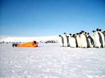 A man in an orange suit explores a colony of emperor penguins. stock photo