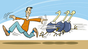 Man and ostriches. Illustration of man trying to learn ostriches to fly Royalty Free Stock Images