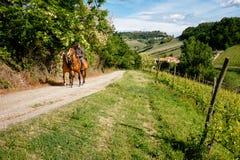 Man på ritter för en häst bland vingård med den Monforte d'Albabyn Bana fr?n Barolo royaltyfri bild