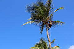 Man in palm tree, Guadeloupe Royalty Free Stock Photography