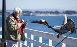 Man and the Pelican 2. Man feeding a California brown pelican on a sunny day Royalty Free Stock Images
