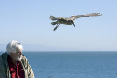 Man and the Pelican 20. Man and a seagull on a sunny day Stock Images
