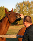 Man Pets Horse. Man and his horse. I love the look in the eye of this horse as he gets his nose scrubbed. Selective focus on the horse face. Autumn Royalty Free Stock Images