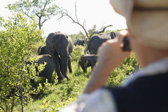Man Photographing Group Of Elephants. Rear view of a blurred men taking photograph of group of elephants royalty free stock photography