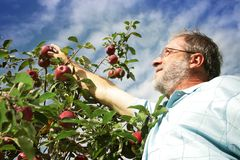 Man picking apple in orchard royalty free stock photography