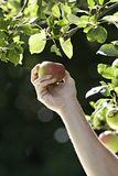 Man picking apple from tree in garden, close-up, side view Stock Images
