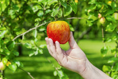 Man picking apple from tree Stock Photography