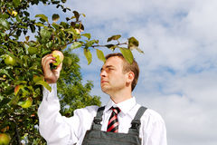 Man picking apples. Stock Image