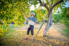 Man picking apples Royalty Free Stock Photos